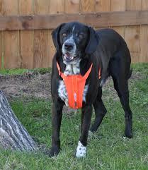 guide dog harness ezydog padded dog chest harnesses dog bike harness comfortable
