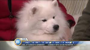 american eskimo dog what do they eat inuk the american eskimo dog stops by