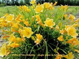 stella daylily d oro daylily hemerocallis