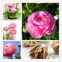 wholesale ranunculus seeds buy cheap ranunculus seeds from