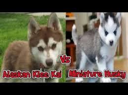 australian shepherd vs husky alaskan klee kai vs miniature husky comparing miniature huskies