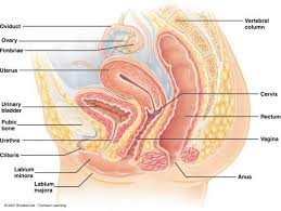 Hymen Female Anatomy Female Reproductive Anatomy Diagram Human Anatomy Body