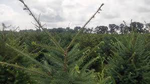 christmas tree shearing u2014 unangst tree farms