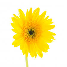 Yellow Flower - yellow flower on a white background photo free