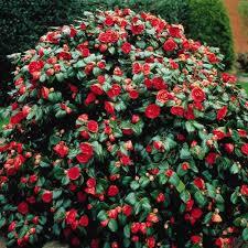All Year Flowering Shrubs - savvy housekeeping four flowering shrubs