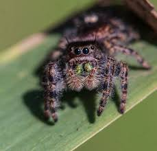 halloween jumping spider bold jumping spider mike powell