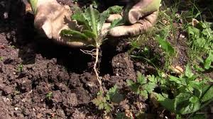 Types Of Vegetable Gardening by Easy Weeding How To Get Rid Of Weeds In Your Vegetable Garden