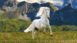 camargue white horse wallpapers in gallery white horses wallpapers 45 white horses hd wallpapers