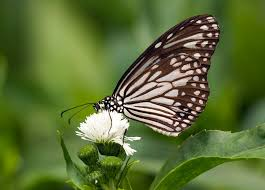 white tiger butterfly danaus melanippus this beautiful b flickr