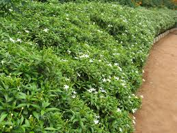 Fragrant Bedding Plants Bhaskaranparol Smallhomegardens2012 Page 2