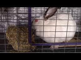 what hay should you feed your rabbit youtube