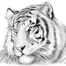 tiger in pencil by greg joens artwanted com