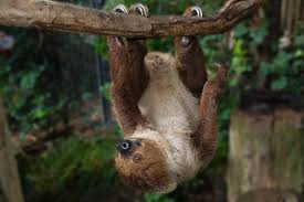 4 toed sloth two toed sloth san diego zoo animals plants