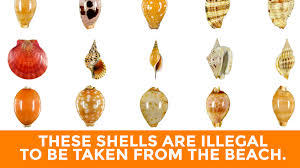 Where To Buy Seashells Sea Shells That Are Illegal To Be Taken From The Beach