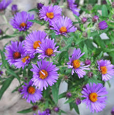 harvest seeds and native plants october u0027s plant of the month new england aster u2013 fiddlehead creek