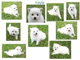 pics of american eskimo dogs american eskimo puppies for sale in missouri