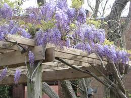 growing american wisteria hgtv