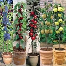 miniature fruit trees miniature patio fruit trees mirror