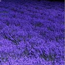 Fragrant Potted Plants - french provence lavender seeds potted plant seeds very fragrant