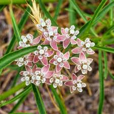 native plants pacific northwest mexican whorled milkweed asclepias fascicularis can be found in