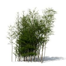 golden bamboo cluster drawings golden bamboo