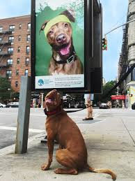 shelter pooch turned poster dog say hello to dan cbs new york