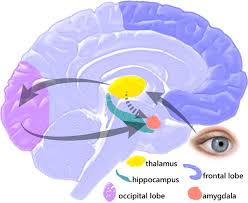 Thalamus Part Of The Brain Amygdala Hijack Wikipedia