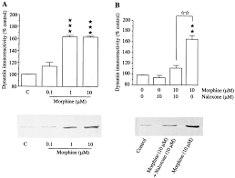 overexpression of dynamin is induced by chronic stimulation of μ