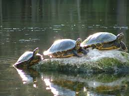 Texas Map Turtle Western Painted Turtle Chrysemys Picta All Turtles