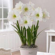 white amaryllis flower bulbs garden plants flowers the
