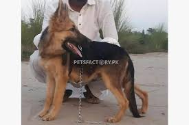 belgian shepherd for sale in islamabad german shepherd 5 month male puppy for sale in sargodha pets factory