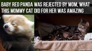 Red Panda Meme - baby red panda was rejected by her mom until this cat came to the