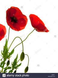 Decorative Flowers by Red Poppies Over White Background Border Decorative Flowers