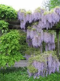 wisteria garden longwood gardens