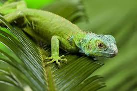 imágenes de iguanas verdes cuál es el mejor alimento para iguanas verdes perros pinterest