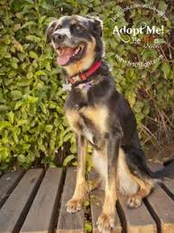 australian shepherd rescue san diego and friends joon is a basset lab mix adoptable from aussie rescue san diego