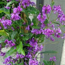 australian seed hardenbergia violacea purple climbing form