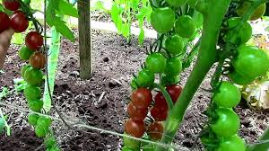 how to prune tomatoes for earlier harvests higher yields