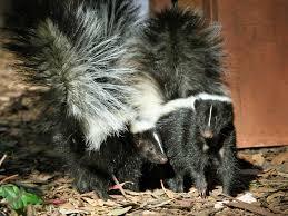 how to keep skunks away angie u0027s list