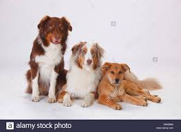3 month australian shepherd australian shepherd male dog red tri stock photos u0026 australian