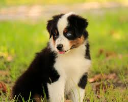 south dakota australian shepherd miniature australian shepherd dog breeder in huntington texas usa