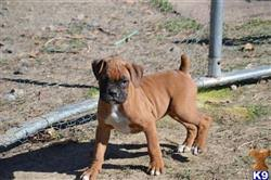 boxer dog with tail boxer puppies for sale in california