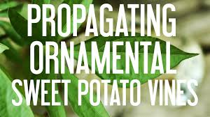 how to propagate ornamental sweet potato vines youtube