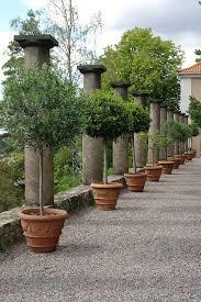 best 25 potted trees ideas on indoor lemon tree