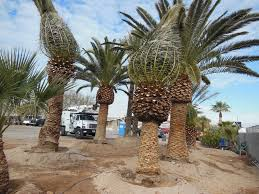 094 8ft canary palm affordable tree service las vegas nv