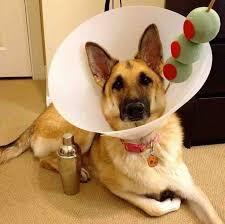 Husky Dog Halloween Costumes Ten Hilarious Dog Halloween Costumes Doggiedeliveries