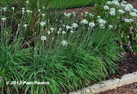 plant this garlic chives diggingdigging