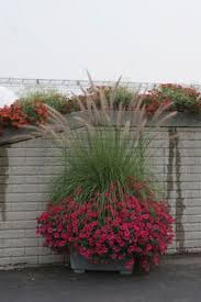 supertunia vista fuchsia ruby mountain grass sun container