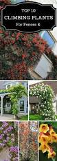 best 25 climber plants ideas on pinterest flower vines