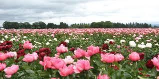 peonies wholesale peonies wholesale find wholesale peony plants online